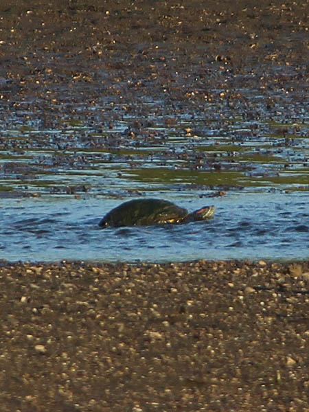 Red-eared Slider - Making His Way