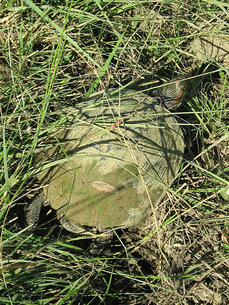 Red-eared Slider - With Wanderlust