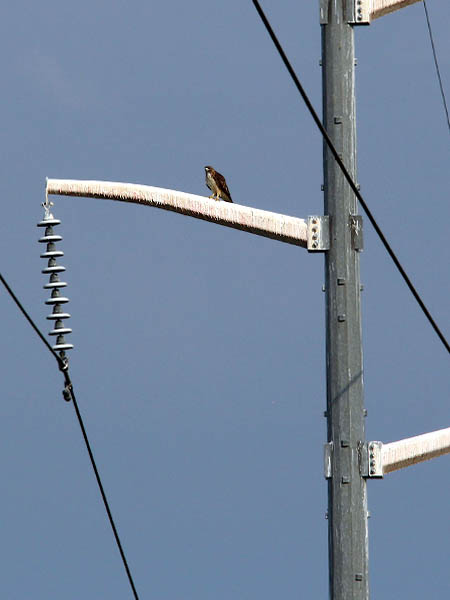 Red-tailed Hawk - Vocal