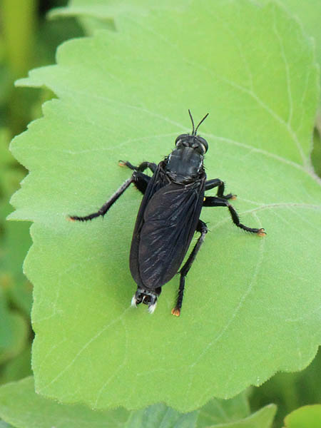 Robber Fly - Wasp Mimic