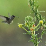 Ruby-throated Hummingbird - River Flower