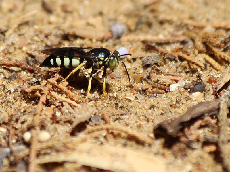 Sand Wasp - Holes