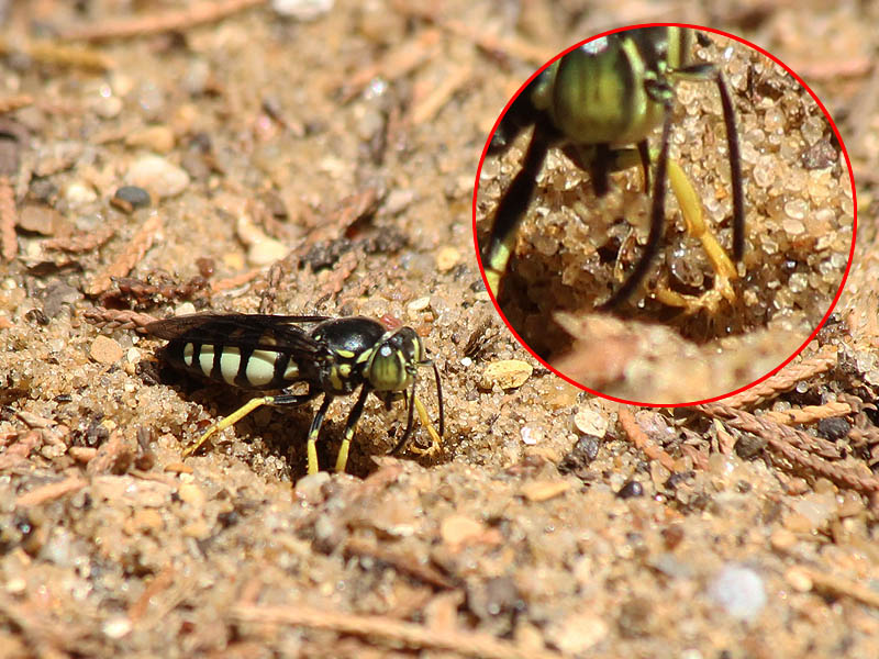 Notice the piece of sand this wasp is lifting from the hole it is digging.