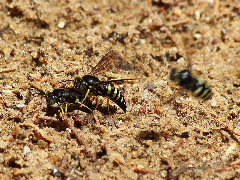 Mating Sand Wasps with an odd man out.