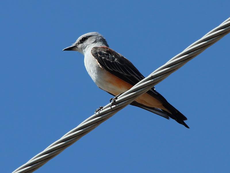 Scissor-tailed Flycatcher - Bladeless
