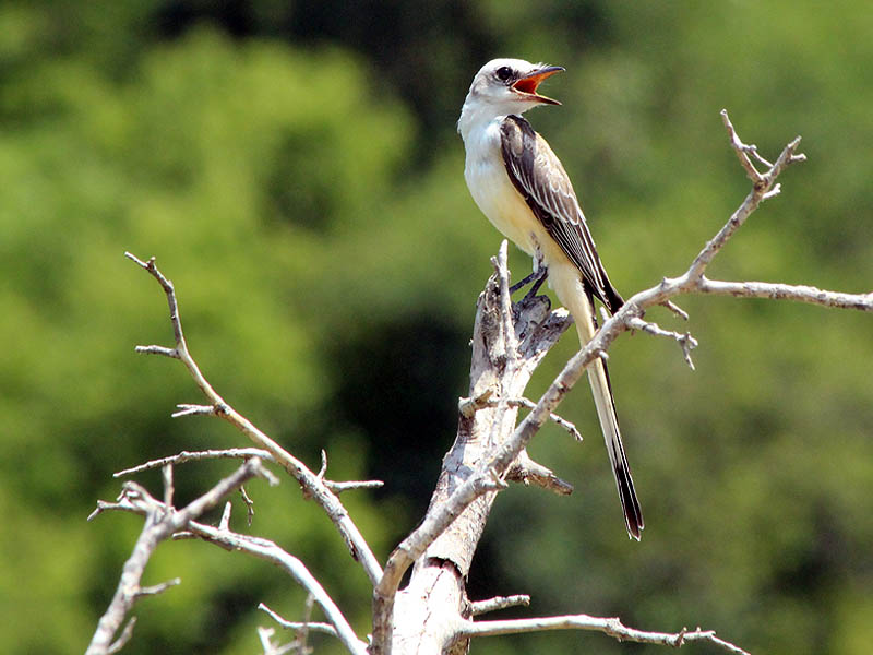 Scissor-tailed Flycatcher - Hot in the City