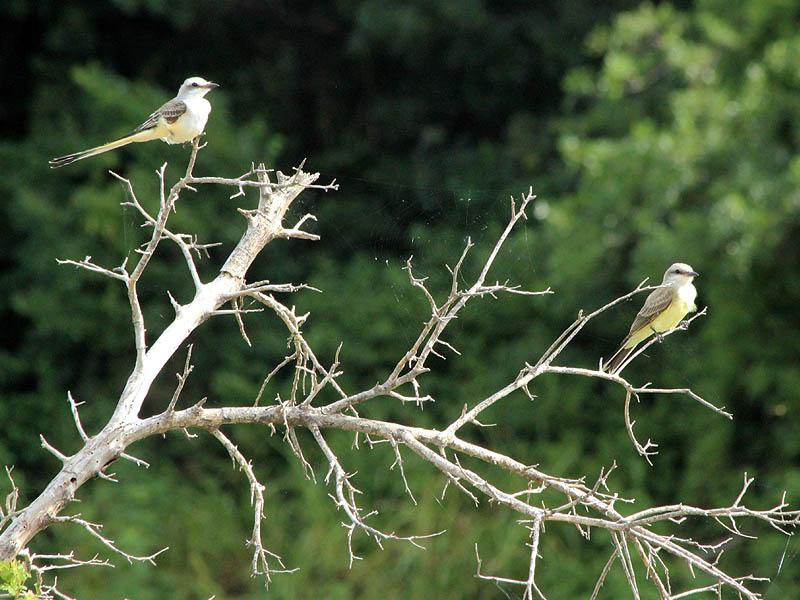 Scissor-tailed Flycatcher - With Western Kingbird
