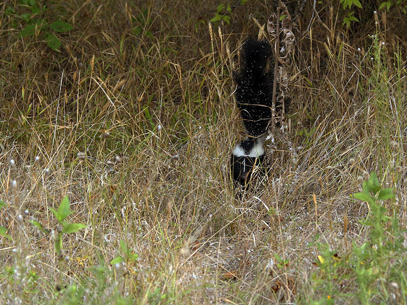 Striped Skunk - Face to Face