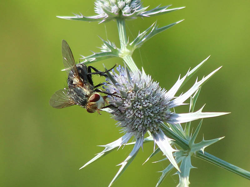 Tachinid Fly - False Purple Thistles