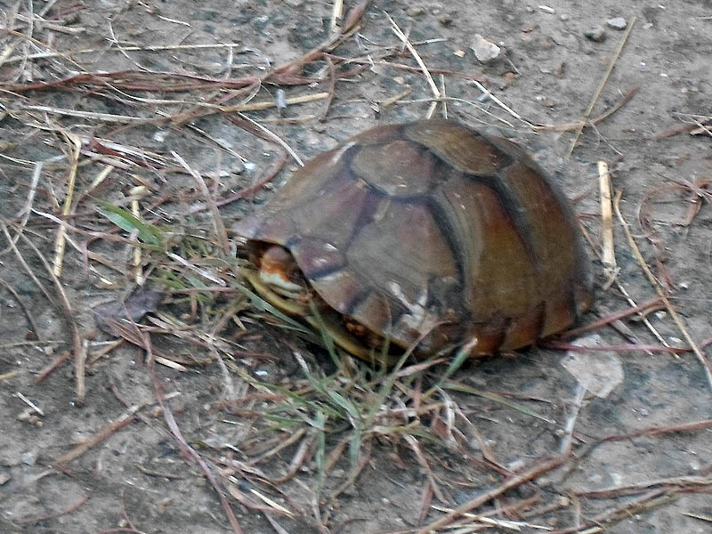 Three-toed Box Turtle - Winfrey Point