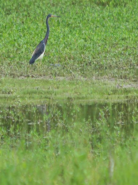 tricoloredheron-swamp-002