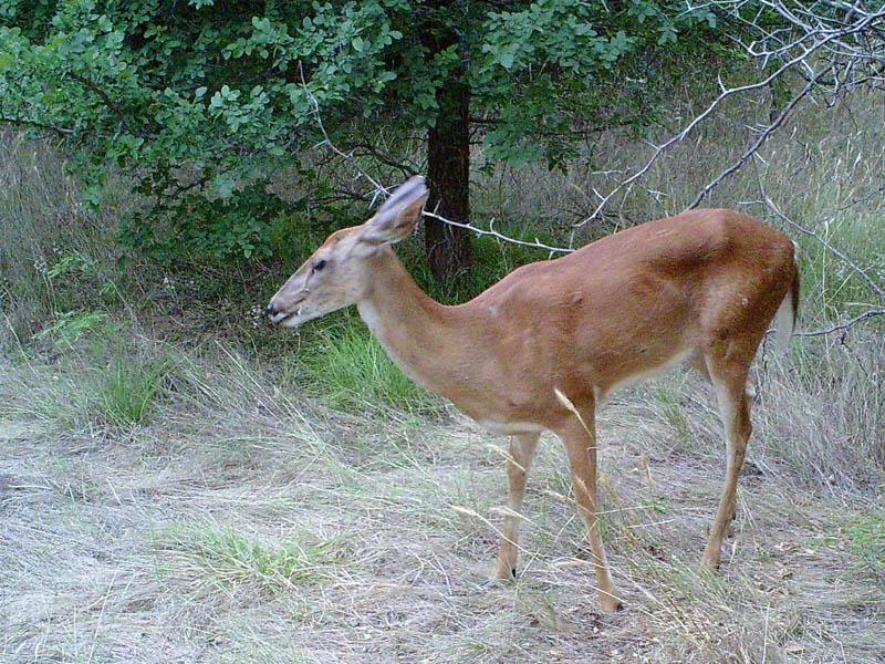 White-tailed Deer - Near Lake Lewisville