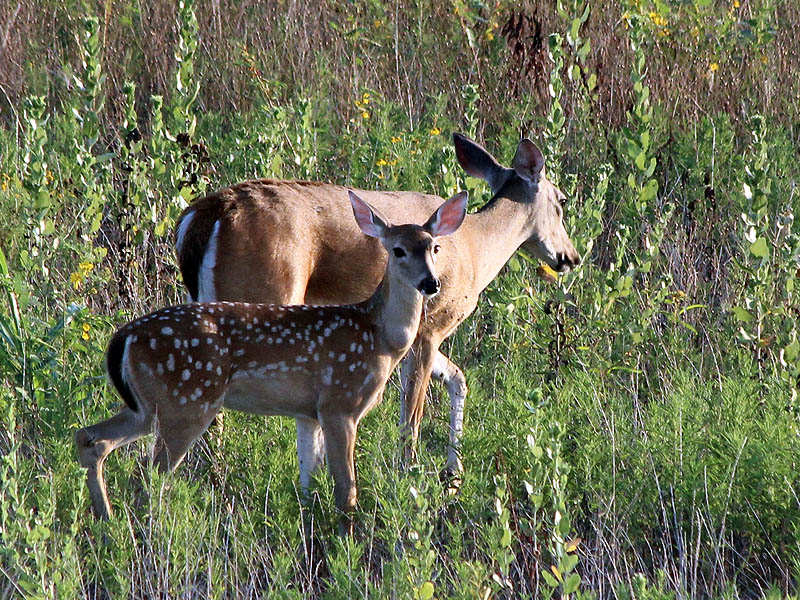 White-tailed Deer - Far South Dallas Doe and Fawn