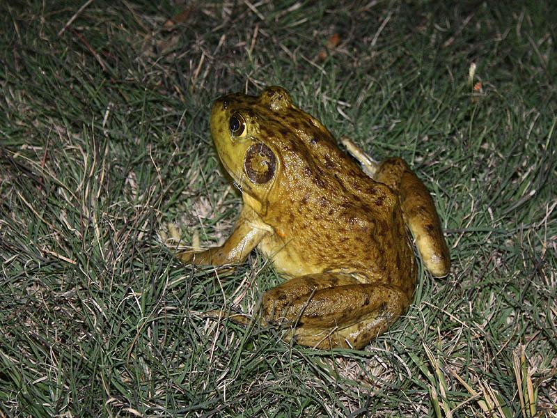 American Bullfrog - Cool Wet Night