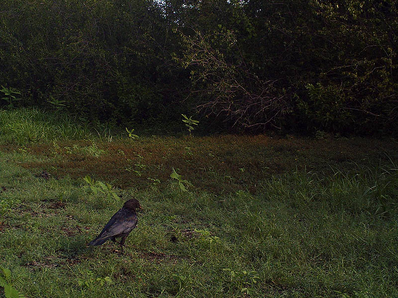 American Crow - Dried Pond Bed