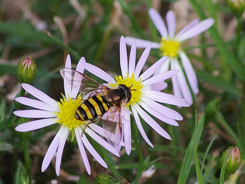 American Hover Fly - Bee Mimic