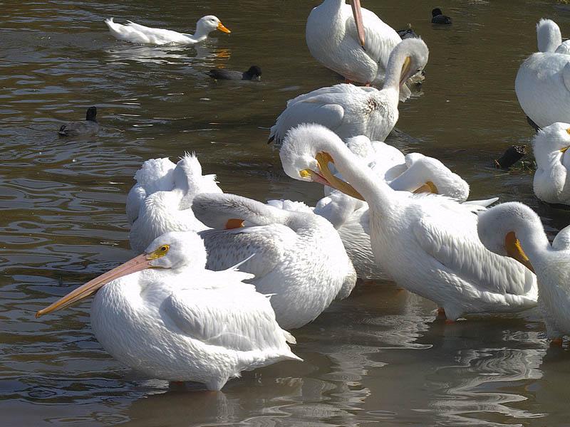 American White Pelicans - Metropolitan