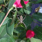 Black and Yellow Garden Spider - Calloway's