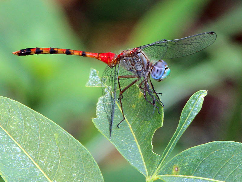 Blue-faced Meadowhawk - Having a Look