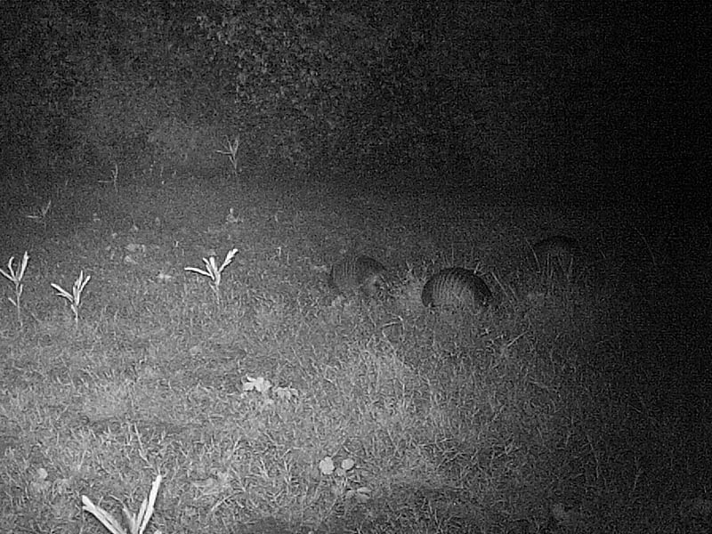 He was soon followed by several more.  In some pictures there were as many as five Armadillos in front of the camera at one time.