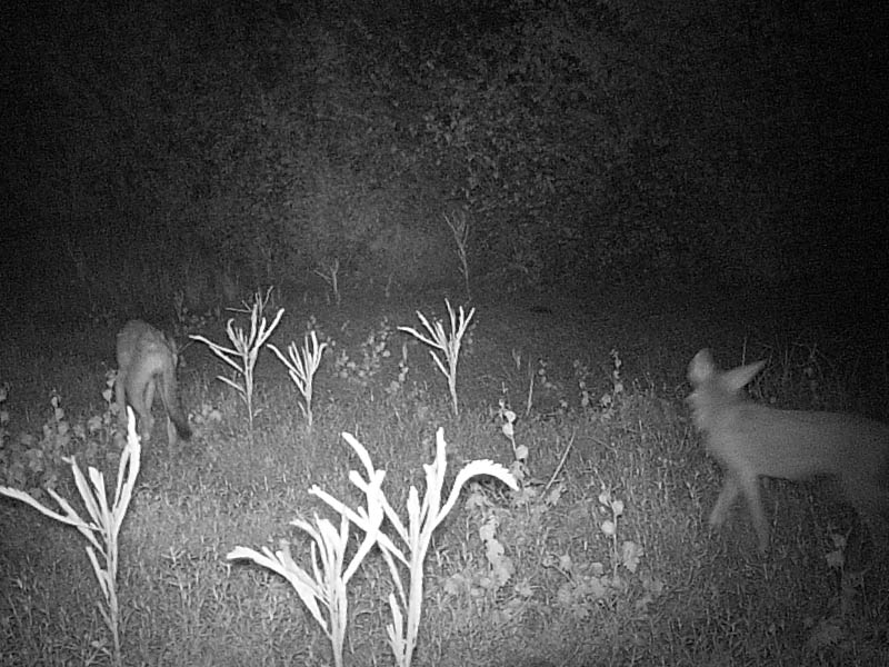 On several occasions the camera recorded multiple Coyotes patrolling the pond bed.