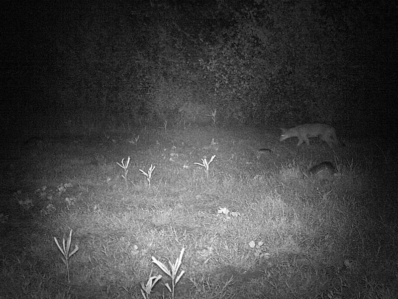 Sometimes the Coyotes and Armadillos gathered together in front of the camera.  There are four Armadillos and one Coyote in this picture.