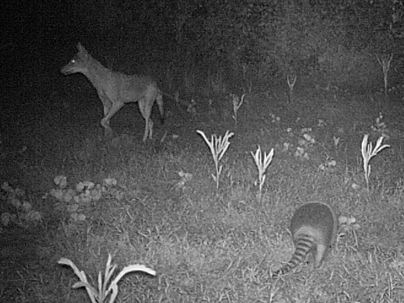 No instances of the Coyotes harassing the Armadillos were recorded.