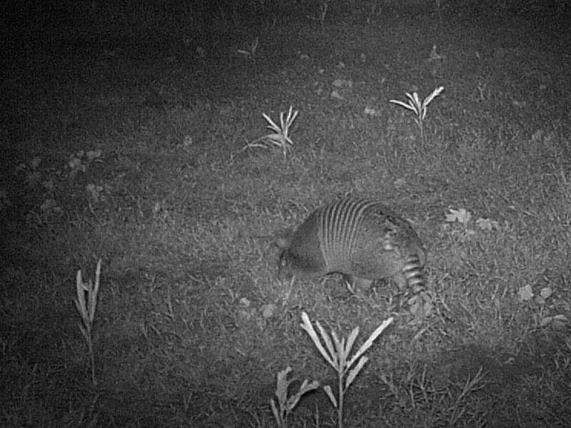 ...But, this Armadillo does appear to have a large scar  on the rump end of his shell.  We can only speculate about the cause.