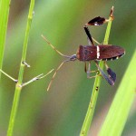 Leaf-footed Bug - Green Grass