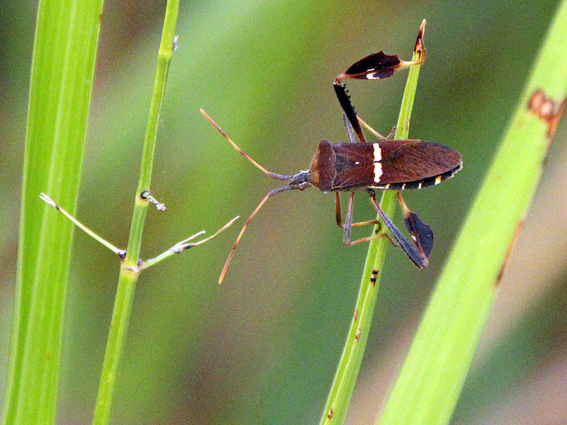 Eastern Leaf-footed Bug - Green Grass