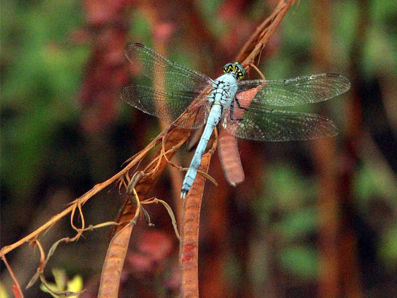Eastern Pondhawk - Blue