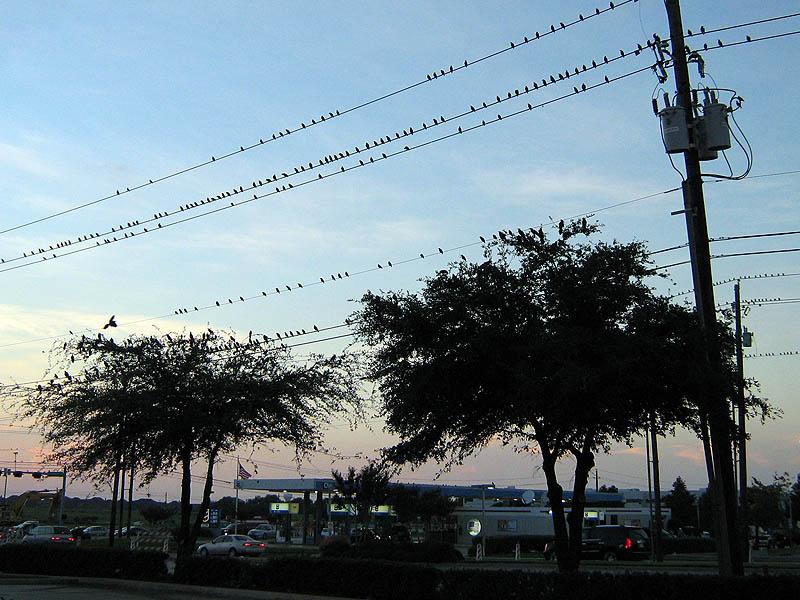 European Starling - Evening Congregation