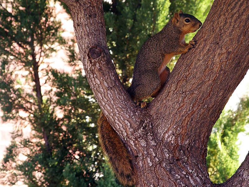Fox Squirrel - Antics