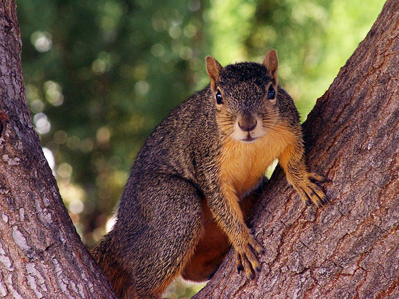 fox squirrel north texas