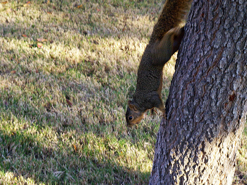 Fox Squirrel - Antics