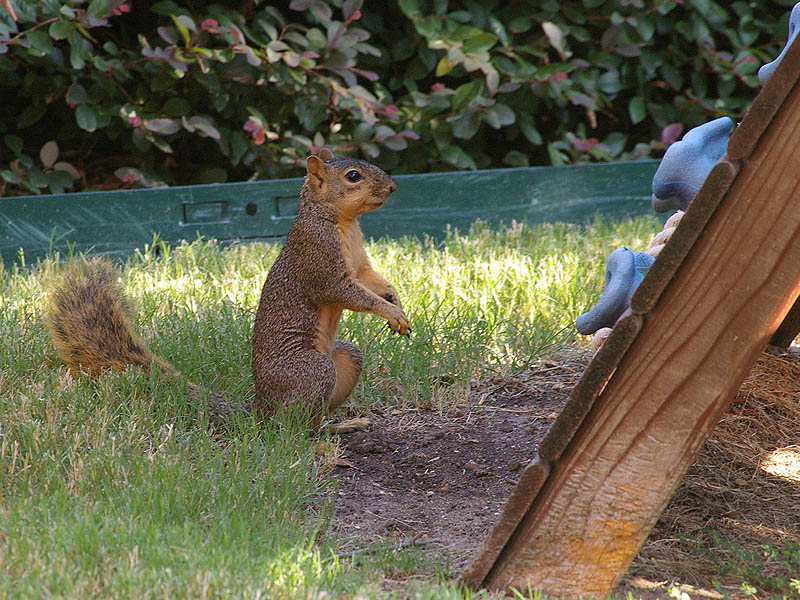 Fox Squirrel - Backyard Guest