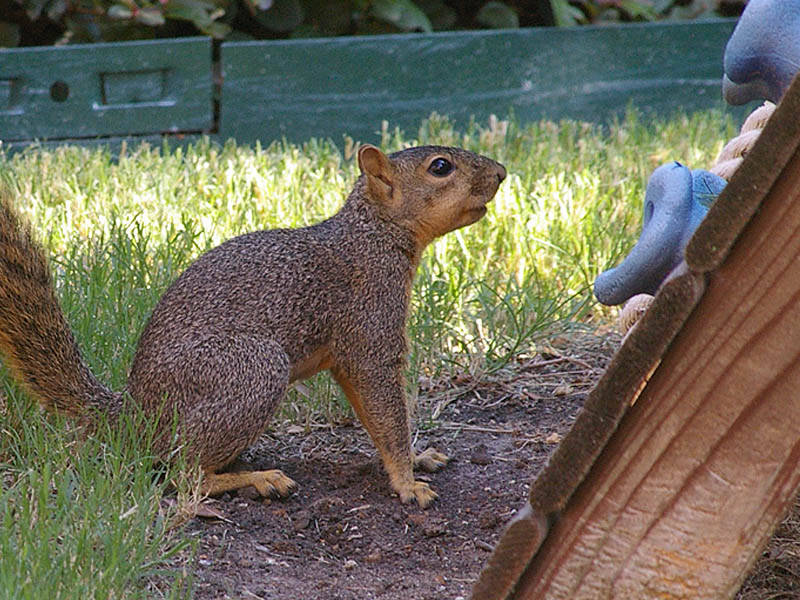 foxsquirrel-backyardguest-002