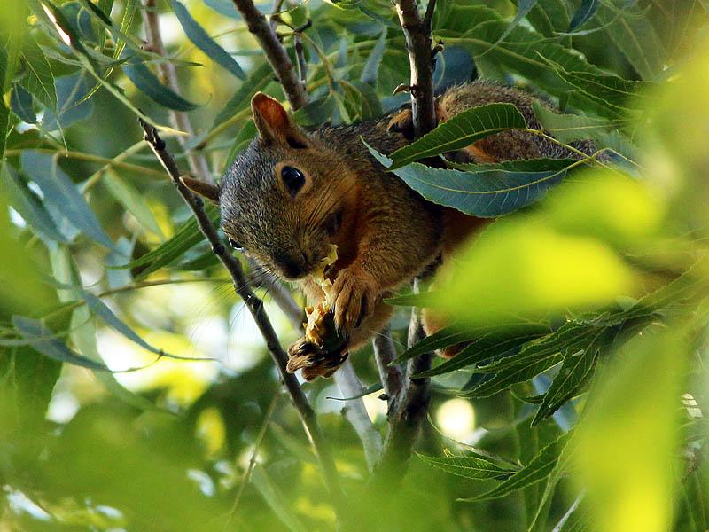 Fox Squirrel - Keeping the Faith
