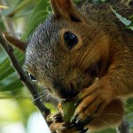 Fox Squirrel - Keeping the Faith
