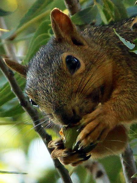 foxsquirrel-keepingthefaith-002Fox Squirrel - Keeping the Faith