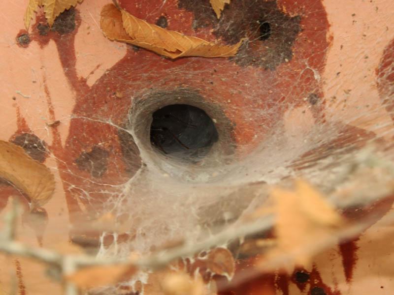 Funnel Weaver - Bullet Hole