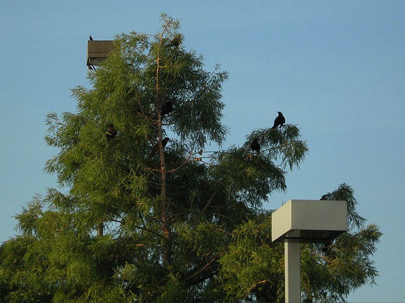 Great-tailed Grackle - Evening Roost