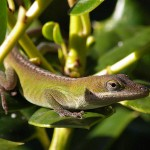 Green Anole - Emerald