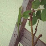 Green Anole - Home