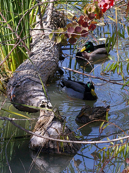 Mallard - Peaceful Pond