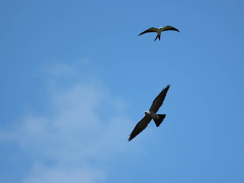 That's the Swallow-tailed Kite in the top right.