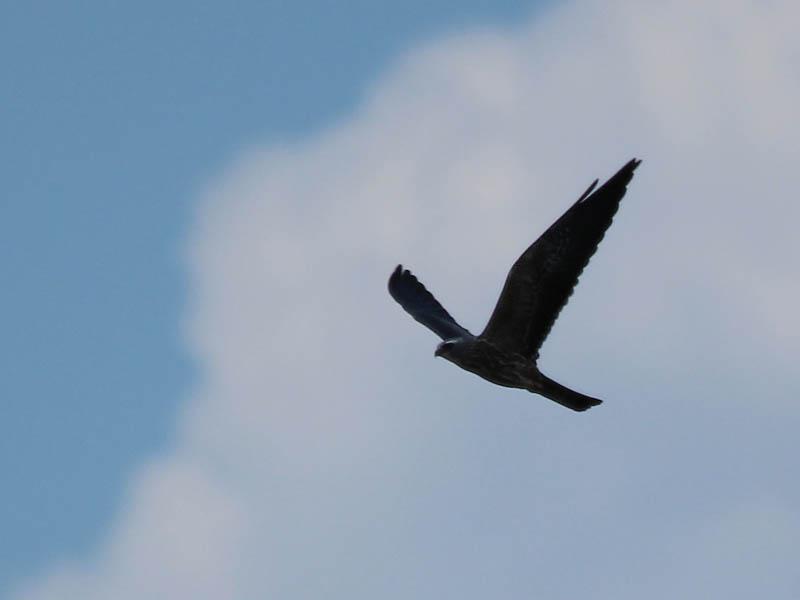 Mississippi Kite - Kettles