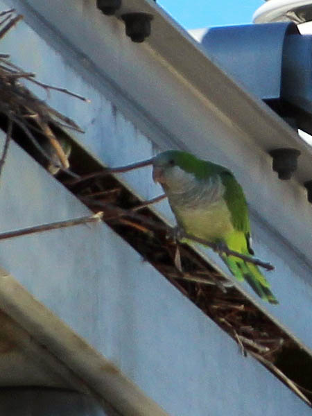 Monk Parakeet - In Garland