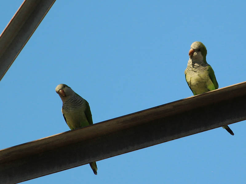 Monk Parakeet - Royal