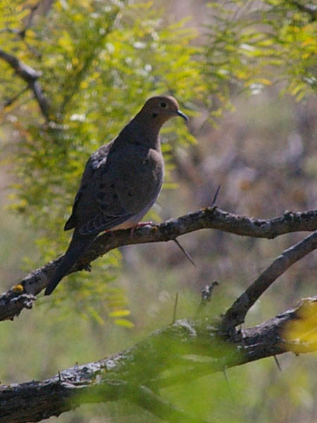 Mourning Dove - On Mesquite